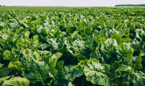 Making Sugar Beet Harvests Sweeter